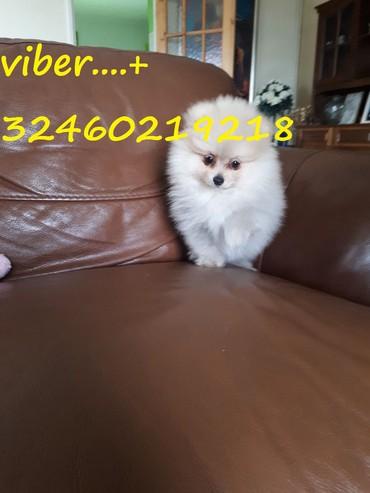Όμορφα Pomeranian Puppies προς πώληση σε Kamatero