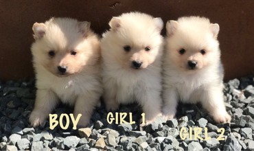 Όμορφα Pomeranian Puppies προς πώληση σε Kalavryta