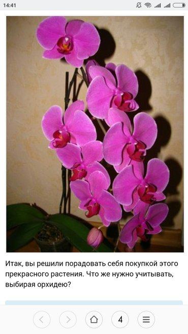 Орхидея фалинопсис в Бишкек - фото 3