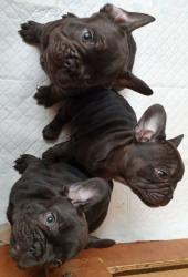 French bulldog puppies ready to go new home σε Athens