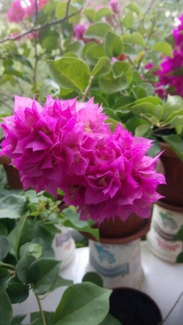 Бугенвиллия Махровая розовая с в Бишкек