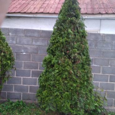 Обрезка обработка хвойных деревьев в Бишкек