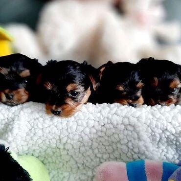 Για σκύλους - Αθήνα: Yorkie puppies for adoption  WhatsApp. +33  We have male and female