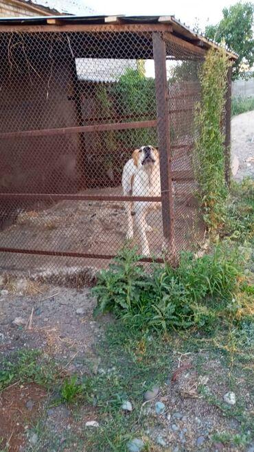 Животные - Сокулук: Продаю чистокровный Алабай