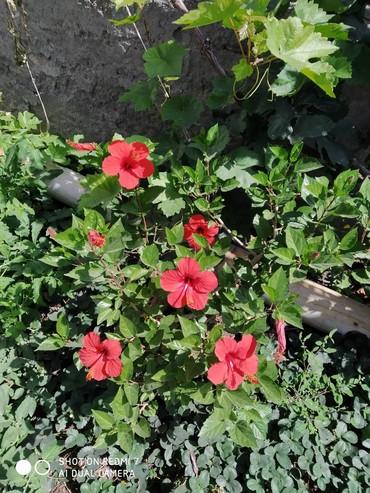 Комнатные растения в Кок-Ой: Китайская роза, очень красиво и обильно цветет, сразу расскрывается