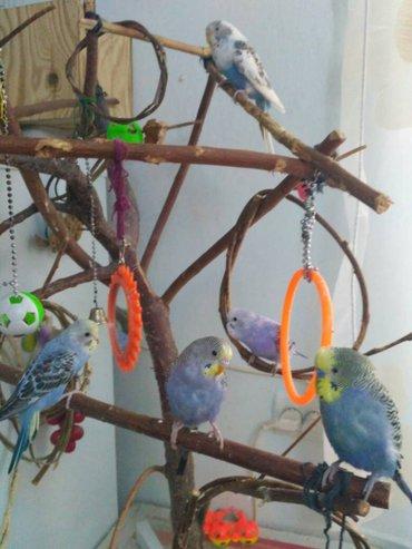 продаём волнистых попугайчиков. от говоряшего папы. в Сокулук