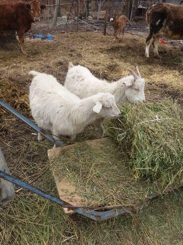 Бараны, овцы - Порода: Другая порода - Бишкек: Продаю | Ягненок | Для разведения | Племенные
