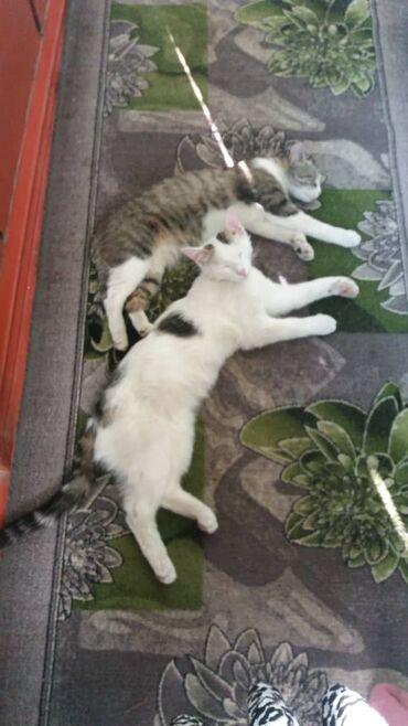 Животные - Кызыл-Кия: Отдам в хорошие руки кошечка и кот. Очень ласковые