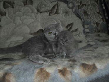Продаются клубные шотландские котята с документами.Окрас голубой