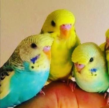 Волнистые попугайчики могут говорить