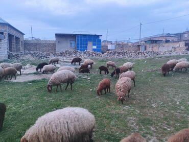 qala konstruktorları - Azərbaycan: 85 baş quzu, 8 baş qoç, 45 baş sisek qalanları isə ana qoyunlardır. Bi