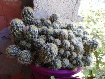 Kakrus sa zutim cvetom - Ivanjica
