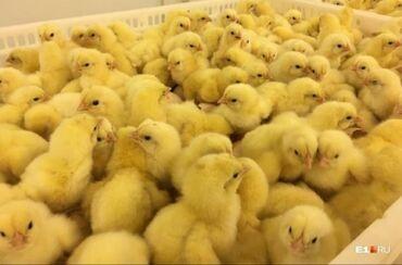 Животные - Манас: Продаю бройлерных цыплят пород Кобб 500 и рост 308. Вывод 23, 30 июля