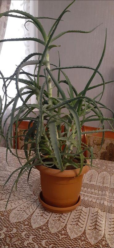 Otaq bitkiləri - Azərbaycan: Алоэ.Продается алоэ Aloe.Aloe satilir