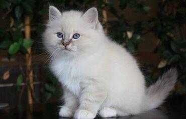 Γατάκια Μπίρμαν. Αυτά τα γατάκια είναι όμορφα μέσα και έξω. Έχουν κοιν