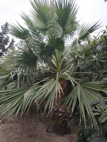 Otaq bitkiləri Şirvanda: Palma - California sortu. Şirvan şəhərində bağ evimdə yerləşir. Bağa