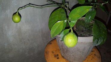 """продаю лимон  сорт """"мейер""""  высота 70  большие плоды  можем привить лю в Бишкек"""