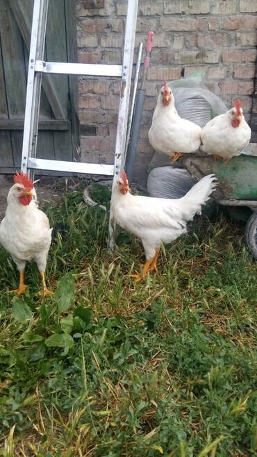 Меняем петушков на кур или продаем
