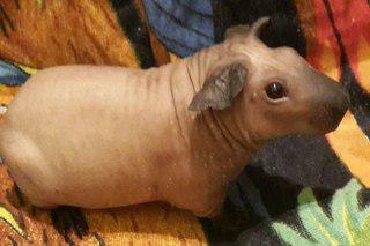 Морские свинки в Кыргызстан: Продаются морские свинки болдуины