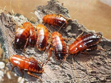 Туркменский таракан  КО для животных  Рептилии, ящерицы, пауки, птицы