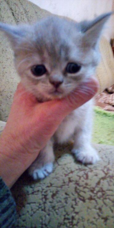 лоток для кошек бишкек in Кыргызстан | ЗООТОВАРЫ: Шотландские страйк .Полтора месяца.К лотку приучены