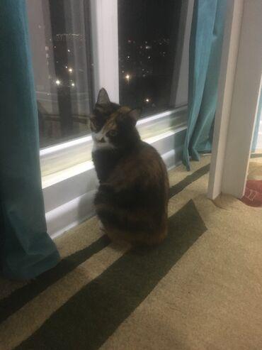 стерилизовать кошку в Кыргызстан: Отдам кошку в добрые рукив связи с аллергией, домашняя трехцветная