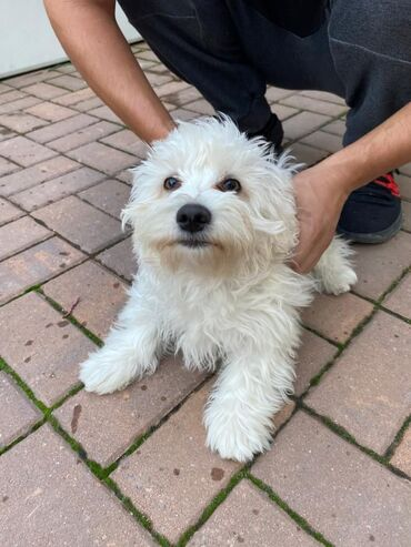 Για σκύλους - Αθήνα: Bichon Μάλτα προς πώλησηΈχουμε αφήσει 2 λατρευτικά κουτάβια από τη