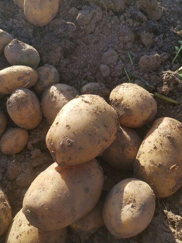 21 объявлений: Картошка сорт АктрисОптом картошка Имеется сертификат Картофель