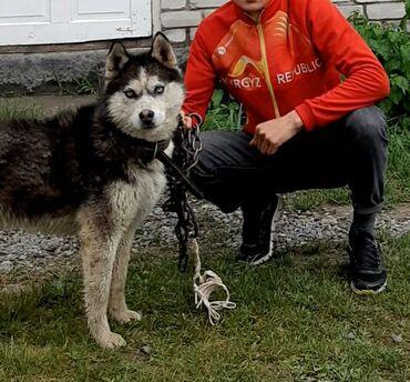 Сибирской Хаски 1.5 лет мальчик