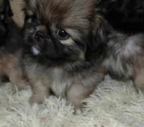 dog - Azərbaycan: Pekines balalari . Щенки пекинеса на продаже,разного окраса,звонити