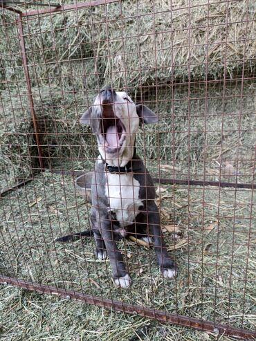 186 объявлений | ЖИВОТНЫЕ: Продаю щенка чистый питбуль сын,Саня Токмок,,4месяца здоровый