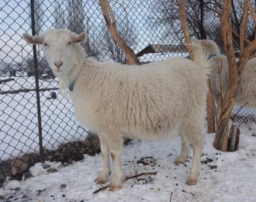 Продаются котные молочные козы по 10000 в Бишкек