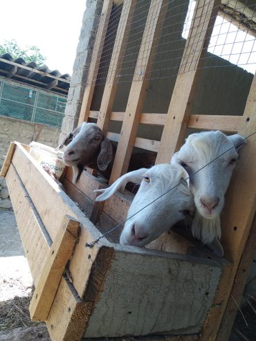 Продаются дойные козы нубийской породы и Заневский породы  в Кызыл-Кия