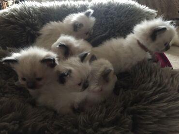 Πώληση όμορφα γατάκια Ragdoll(Οι μεγάλοι πρωταθλητές γονείς στο