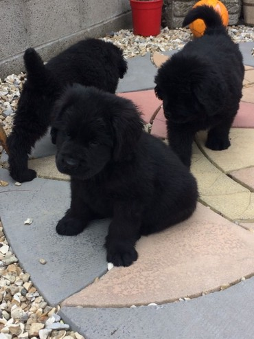 Litter Of Four Big Chunky Newfoundlands puppies σε Central & West Suburbs