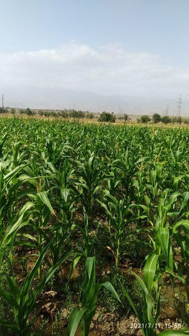 Услуги - Кемин: Продаю кукурузу под силос 2га