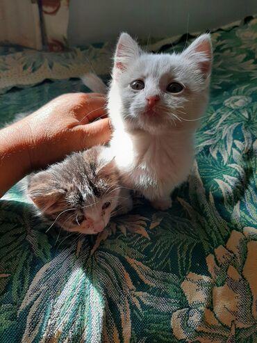 2 милые кошечки пушистикисестренки ищут любящию семью.Которая подарила