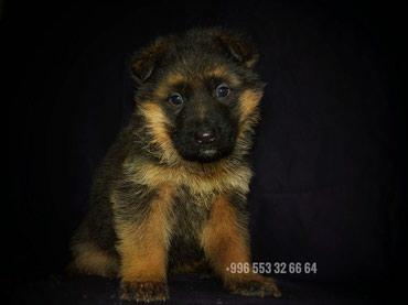 Продаются перспективные щенки в Бишкек