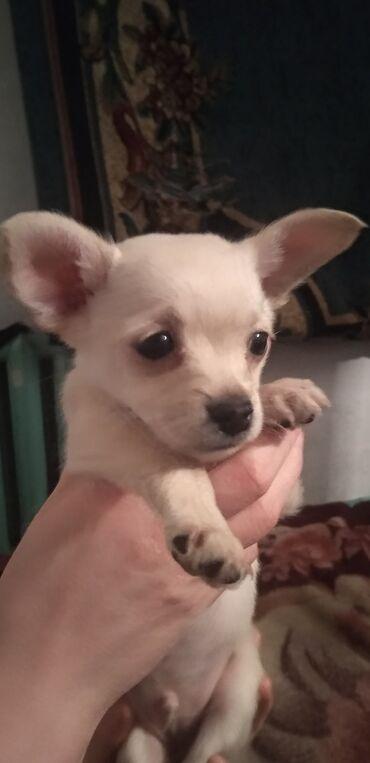 бивер йоркширский терьер в Кыргызстан: Продаю щенка той терьера кушает сам ему 2месяца