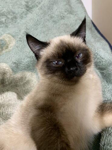 Продаю чистую породистую кошку! Описание:девочка,7 месяцев,игривая