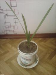 Финиковая пальма в Бишкек