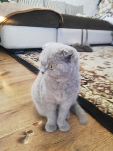 Коты - Беловодское: Продам вислоухого котёнка,девочка возраст 5.5 месяца, проглистована, к