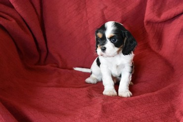 Cavalier King Charles Spaniel Dogs and Puppies for sale  σε Evropos