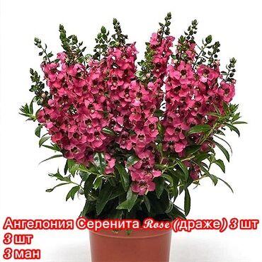 ведущий на свадьбу в Азербайджан: Продаю профессиональные семена цветов от ведущих европейских фирм(НЕ