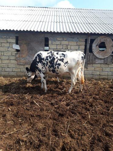 24 elan   HEYVANLAR: 23 baş Holstein, Simmental və yerli cins inək satılır. Hamısı 27000 az