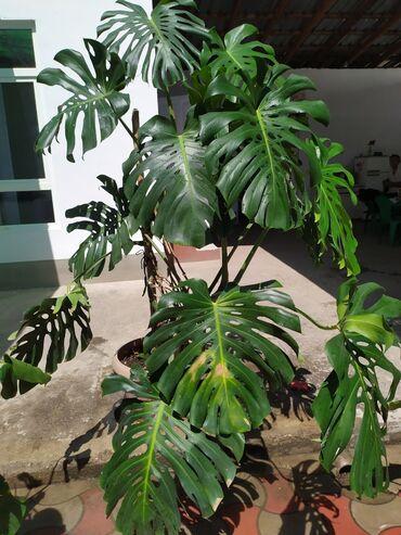Комнатные растения - Сокулук: Монстера,рост 2м Торг. уместен