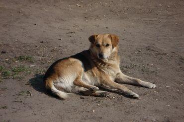 купить для собаки в Кыргызстан: Куплю Собаку 1 год дворнягу большой породы (КАРА-БАЛТА)