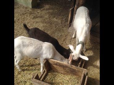 Молочная коза с двумя козлятами .первый окот .козлятам 3 месяца . в Токмак
