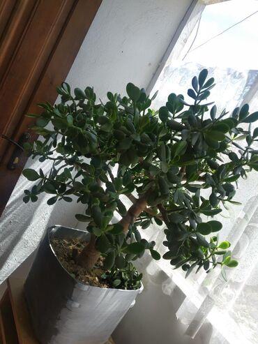 Комнатные растения - Кыргызстан: Живое дерево