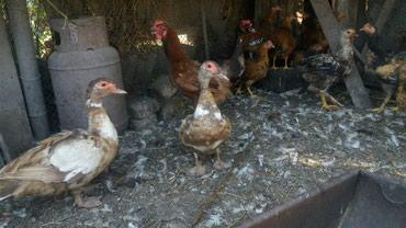 Мясо домашней птицы на заказ.утки,куры,гуси,кролики,бройллер. в Бишкек